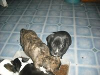 Valley bulldog puppies