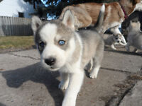 husky puppies for sale !! 750