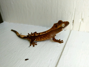 2018 Crested Gecko- Tonic (OBO)