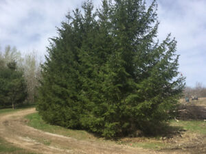 20 (2-25 ft) Spruce Trees