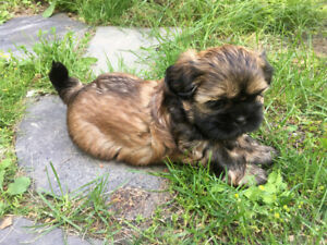 Adorable home raised Shih Tzu puppies *ONE MALE LEFT*