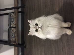 Lost Cat- white persian