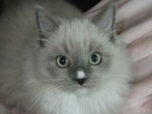 Ragdoll kittens  ... Vaccinated fully x 3 !