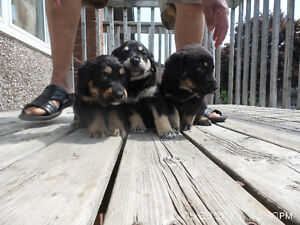 Rottweiler/lab mix puppies for sale
