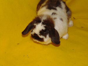 Holland Lop Female rabbit - special needs London Ontario image 5
