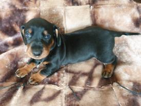 PUREBRED STANDARD PRA CLEAR Dachshund puppies.