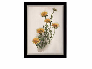 Chromolithograph of Tridax Flowers – 19th Century