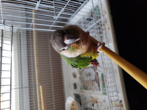 Green chick conure looking for a new home