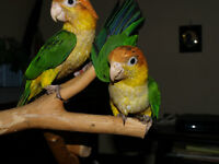 Amazing White Bellied Caique Chicks - female