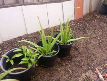 Aloe Vera plants *HEALTHY & STRONG* Waterford South Perth Area Preview