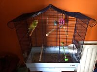 Budgie 8 months old and cage