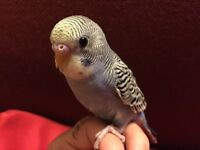 7 weeks old tamed baby budgies