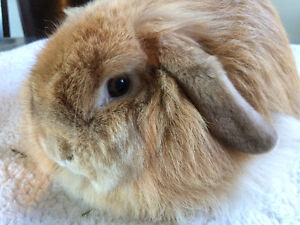 Gorgeous Orange Holland Lop bunny- Pedigree-ADOPTED