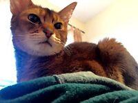 Beautiful abynissian cat