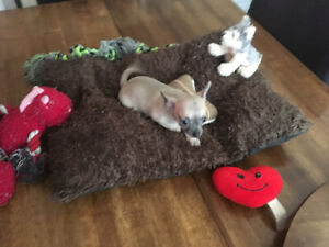 Grey/ Blue, Apple-head Shorthaired Chihuahua Female Puppy