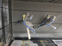 Young English Budgies