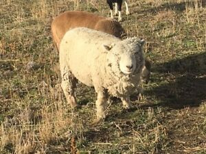 Old English Babydoll sheep starter flock