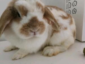 FREE Holland lop bunny
