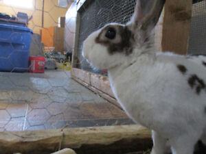 2 year old rabbit