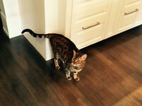 Beautiful Bengal Looking for Home