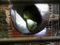 Femelle touis céleste jaune 2 ans