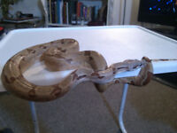Red tailed Boa- hypomelanistic