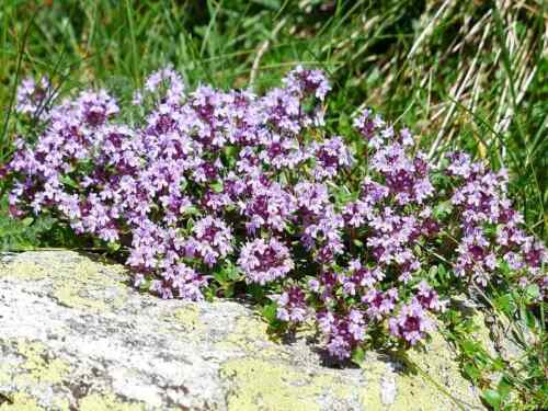 10000 CREEPING THYME Seeds  Ground Cover