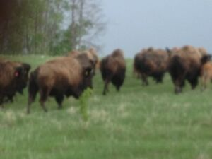 Bison meat for sale
