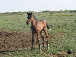 2016 pure spanish Andalusian filly -  PRICE REDUCED