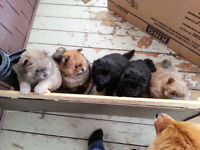 chow chow a vendre...nbspca 0249