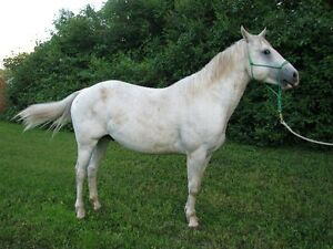 Foundation and Running Quarter Horses For Sale