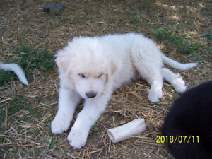 Great Pyrenees/Maremma Puppies
