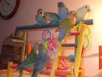 Baby Lovebirds available