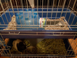 2 Guinea pigs with cage, food and toys