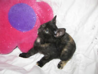 *** Charming Rescue Kittens - Pickup West Edmonton ***