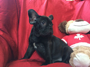 Molly, Gorgeous Purebred Female French Bulldog Puppy