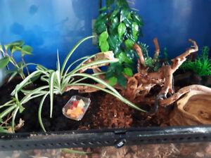 Terrarium avec gecko à crête