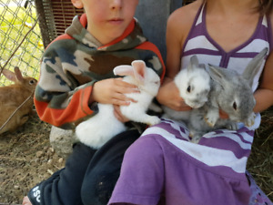 New Zealand whites, and Japanese harlequin rabbits for sale.