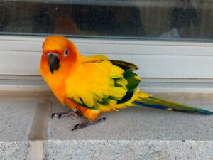 Conures Sale | Adopt Local Birds in Mississauga / Peel Region