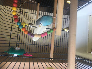 Budgie for rehoming