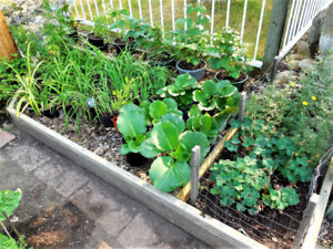 Perennial Plants in Pots - Summer close-out Sale