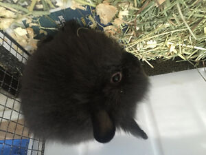 Adorable and fluffy baby mini Lionhead bunnies!
