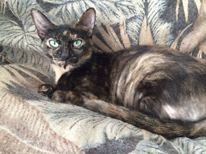 "Female young Tortie ""OCTORIA"" London Ontario image 5"