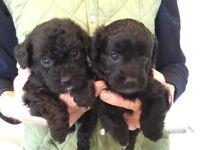 Gorgeous Jackapoo puppies