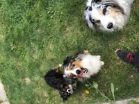 Dog Walker for 4 Aussies needed ASAP
