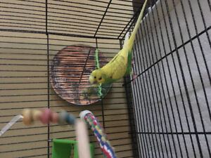 2 Hand Tamed Budgies for Sale
