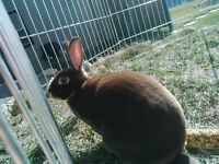 Mini Rex Rabbit 1.5 years old