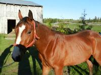 Registered Quarter Horse Filly