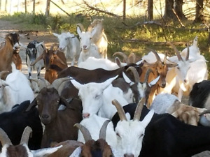 Goats for sale/chevres a vendte