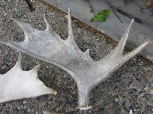 Cash for Antlers